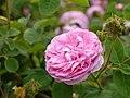 Rose, Chapeau de Napoleon, バラ, シャポー ドゥ ナポレオン, (12552993873).jpg