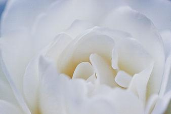 Rose, Iceberg (Schneewittchen)4.jpg