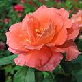 Rose (197).jpg