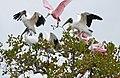 Roseate Spoonbills (Platalea ajaja) and Wood Storks (Mycteria americana) (28997488332).jpg