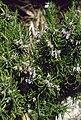 Rosmarinus officinalis 1.jpg