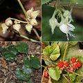Rubus buergeri (Montage s2).jpg