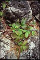 Rubus pubescens 1-eheep (5097346393).jpg