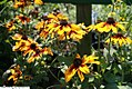 Rudbeckia hirta Autumn Colors 2zz.jpg