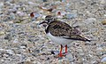 Ruddy Turnstone (5974496871).jpg