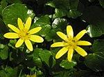 Ruhland, Grenzstr. 3, Scharbockskraut im Garten, Blüte, Frühling, 01.jpg