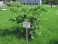 Russina. Yuzhno-Sakhalinsk Museum. Cerasus kurilensis.JPG