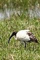 Sacred ibis portrait (44526750032).jpg