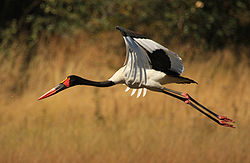 Saddle-billed Stork in flight.jpg