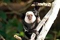 Sagui-de-cara-branca (Callithrix geoffroyi) - White-headed marmoset.jpg
