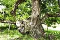 Salix koreensis 4.jpg