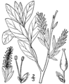 Salix pedicellaris BB-1913.png