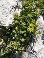 Salix retusa RHu 01.JPG