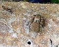 Salticidae, Aelurillus species - Flickr - gailhampshire.jpg