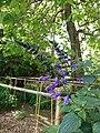 Salvia coerulea Flower.jpg