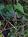 Salvia lasiocephala.jpg