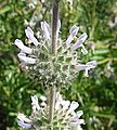 Salvia mellifera (27784635041).jpg