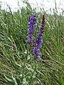 Salvia nemorosa RF.jpg