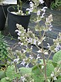 Salvia sent as moorcroftiana - Flickr - peganum.jpg