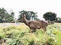 Sambar deer at Horton Plains National Park.jpg