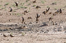 Sandgrouse flock.jpg