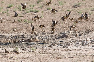 Sandgrouse - Namaqua sandgrouse are gregarious and feed and drink in large flocks
