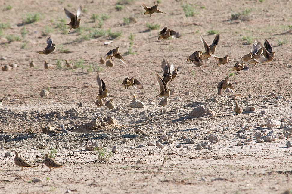 Sandgrouse flock