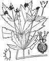 Sanicula odorata (Raf.) K.M. Pryer & L.R. Phillippe Clustered blacksnakeroot.tiff