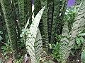 Sansevieria zeylanica-yercaud-salem-India.JPG