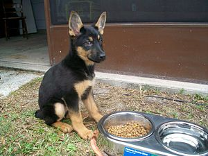 3 Month Old AKC German Shepherd Puppy