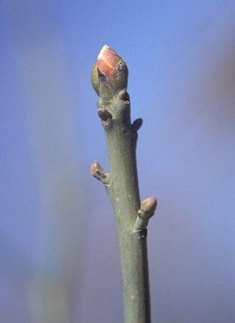 Sassafras albidum - Sassafras twig and terminal bud
