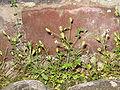 Saxifraga tridactylites01.jpg
