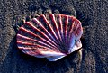 Scallop shell on the sands. (19936789345).jpg