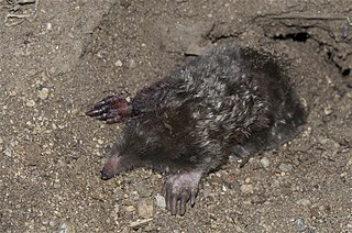 Townsends mole species of mammal