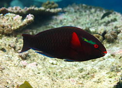Dusky parrotfish or swarthy parrotfish (Scarus niger) (male)