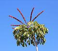 Schefflera actinophylla 02.JPG