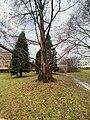 Schlosspark Urweltmammutbaum.jpg