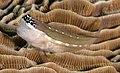 Schroeder's coralblenny (Ecsenius schroederi) (47706410732) (cropped).jpg