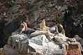 Sea Lions Laying Around (7136638389).jpg