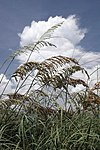 Sea oats at Smathers Beach Key West, Florida.jpg