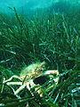 Sea spider in Corsica (Calvi Bay).JPG