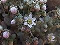 Sedum dasyphyllum Piazzo 02.jpg