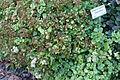 Sedum populifolium (Hylotelephium populifolium) - Bergianska trädgården - Stockholm, Sweden - DSC00527.JPG