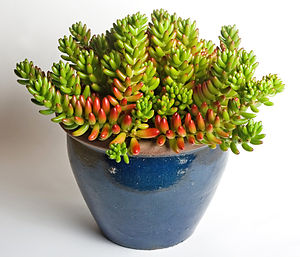 Domestication - Succulents like this jelly bean plant (Sedum rubrotinctum) need infrequent watering, making them convenient as houseplants.