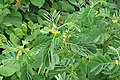 Senna obtusifolia at Beechanahalli 2014 (3).jpg
