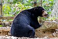 Sepilok Sabah BSBCC-photos-of-the bears-04.jpg