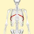 Seventh rib back2.png