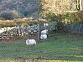 Sheep at Bwlch above the village of Cwm-y-glo - geograph.org.uk - 321232.jpg