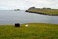 Sheep graze on Heimaey.jpg
