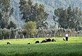 Sheep herd, Karaisalı.jpg
